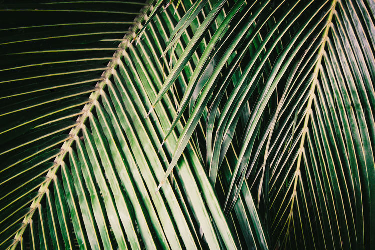 Tropical jungle background texture of a close up of dark green palm leaves. Palm Leaf Green Color Palm Tree Leaf Pattern Plant Part Full Frame Close-up Backgrounds Nature Frond Day Plant Abstract Leaves Jungle Tropical Background Texture Exotic Golden Palm Leaves Close Up Foliage Greenery Botanical