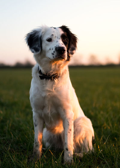 Got the sit and wait nailed! Animal Themes Close-up Day Dog Domestic Animals Field Focus On Foreground Grass Looking At Camera Mammal Nature No People One Animal Outdoors Pets Portrait Sitting Sky Sprollie Sunset