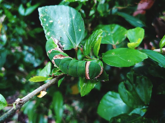 Catterpillar Eyeem Philippines Green Color Leaves Nature Photography Nature Leaf Insect Close-up Plant Green Color