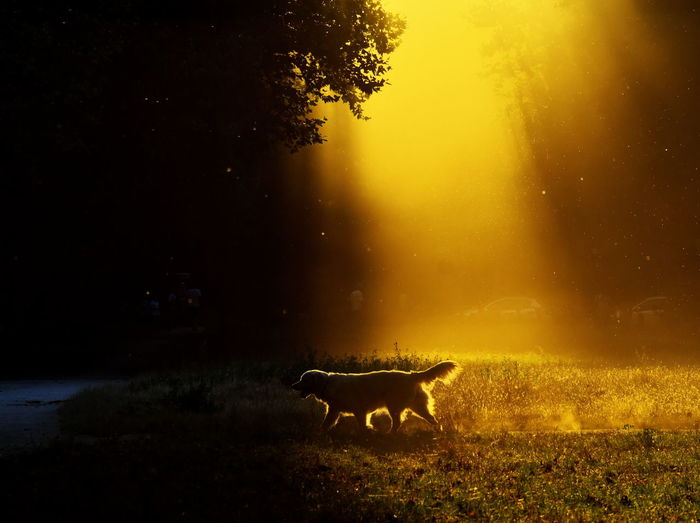 Silhouette dog on field against sky at night
