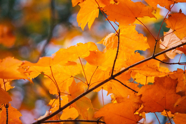 Close-up of yellow maple leaves on tree during autumn