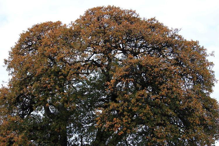 January 2017 Tuscany Branch Castagneto Carducci Day Growth Italy Nature No People Outdoors Secular Oak Tree Sky Tree