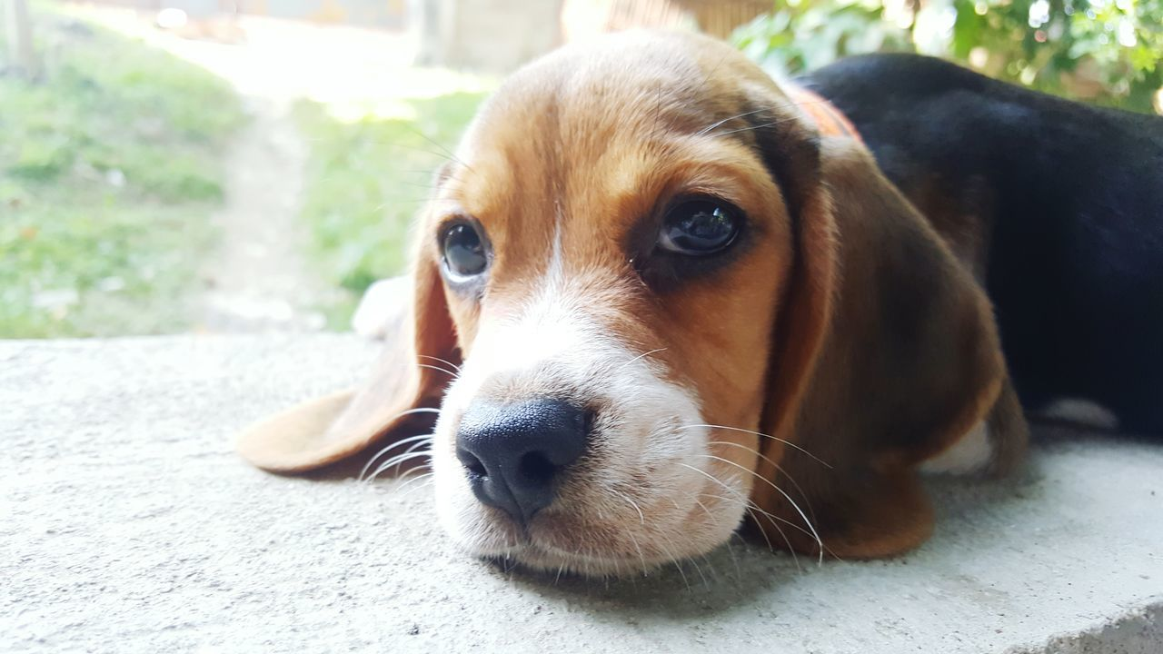 dog, pets, one animal, animal themes, mammal, domestic animals, animal head, portrait, close-up, looking at camera, day, focus on foreground, no people, outdoors, beagle, nature