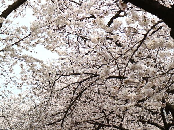 Hanging Out Enjoying Life Flower Cherry Blossom Cherry Blossoms EyeEm Best Shots Bestphotos EyeEmBestPics EyeEmbestshots