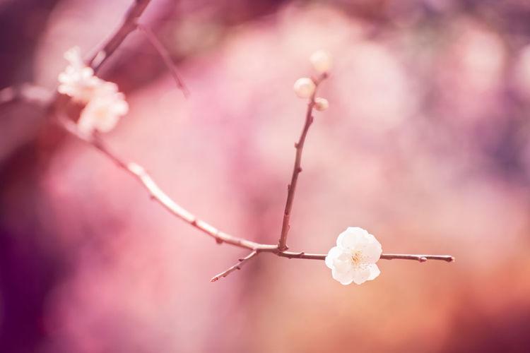 Plum blossoms Plant Fragility Flower Nature Pink Color Softness Springtime Plum Blossom Floral Pastel
