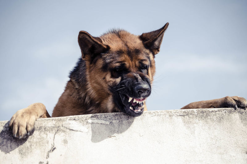 dog Bad Perros  Big Dog Dogs Dog Pets Portrait German Shepherd Summer Ear Sky Teeth Animal Teeth Snarling Snout Mouth Animal Mouth Animal Face Roaring Animal Nose Grizzly Bear Carnivora Animal Hair Animal Tongue Angry Crocodile Yawning Wolf