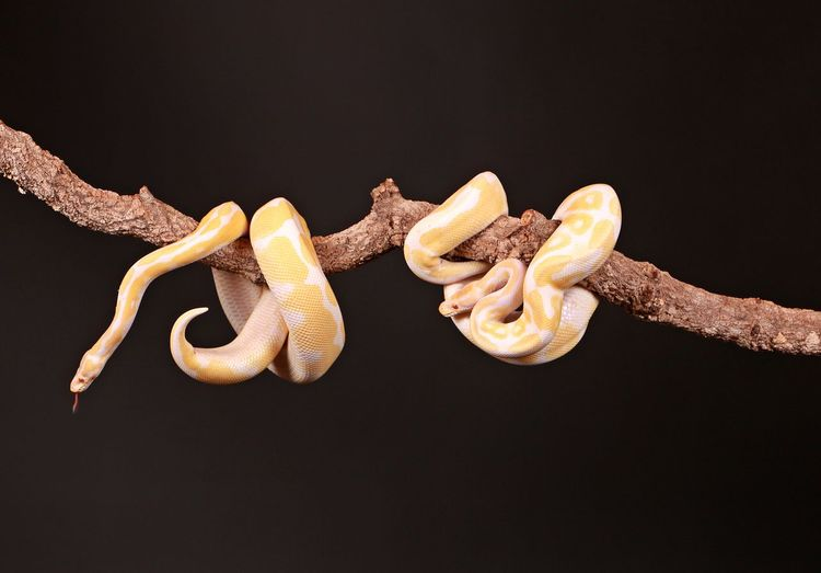 albino photons entwined on a limb Ast Entwined Exotic Phyton Reptile Schlange  Snake Tigerpyton Tongue Out Albino Black Background Boa Citron Close-up Exotic Pets Eyeem Snake Indoors  Limb No People Portrait Studio Shot Tongue Wild Wildlife Yellow