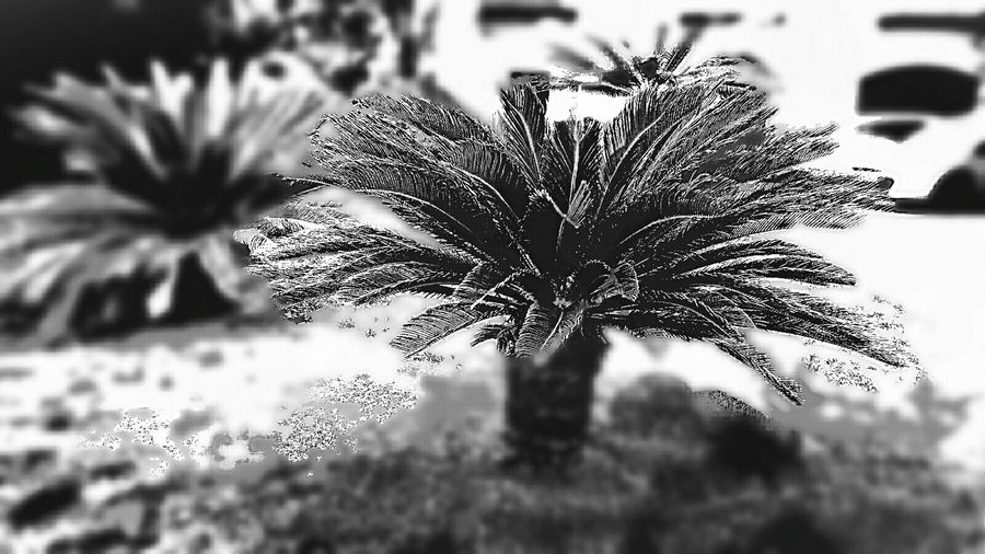 Карликовая пальма Palmetta Black & White Photography flower Close-up Nature Beauty In Nature Fragility Day Outdoors No People Flower Head Freshness EyeEmNewHere