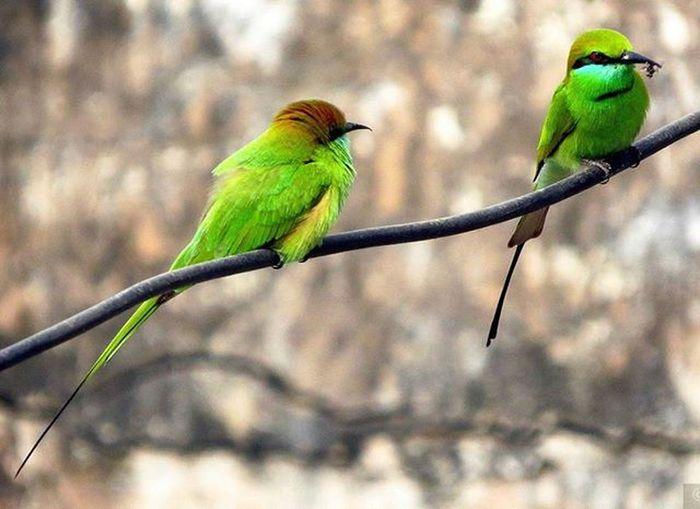 Green bee-eater Bird Bird_watchers_daily Nature Backyardphotography Canonsx50 Canon_photos Your_best_birds Birdsofinstagram Ig_birdwatchers Bestbirdshots Pocket_birds Naturephotography Birdgang
