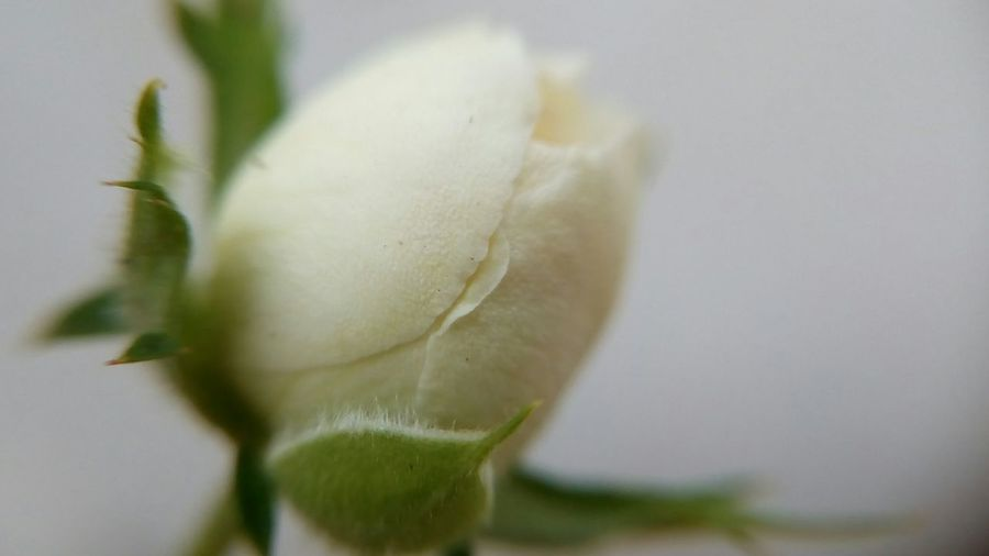Rose flower bud.. Plant Nature Close-up Flower Growth No People Day Freshness Fragility Outdoors Beauty In Nature Flower Head Macro Beauty Macro Nature Macro_flower Macro Photography Macro Rose - Flower Rose Flower Bud White Rose Buds White Rose Shot With Mobile Clip Lens