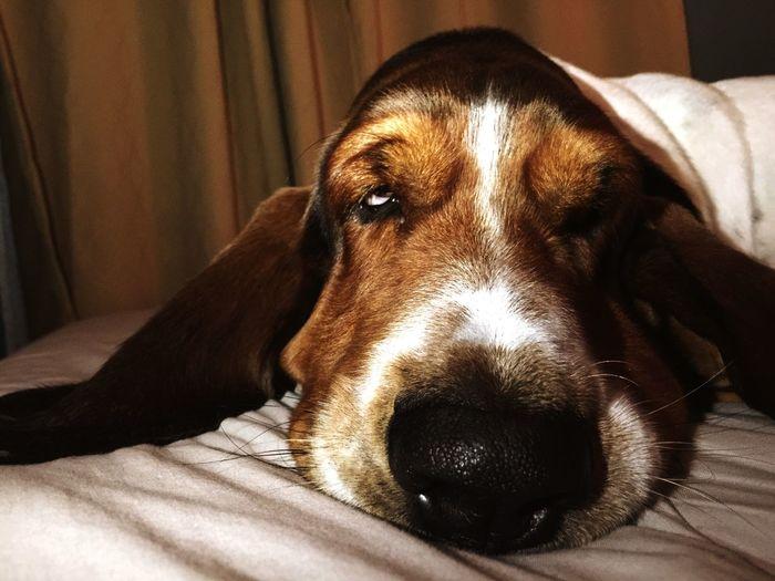 GoodNight❤ Hushpuppies Bassethound PuppyLove Pets