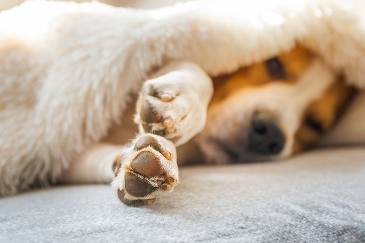 Close-up of a dog resting