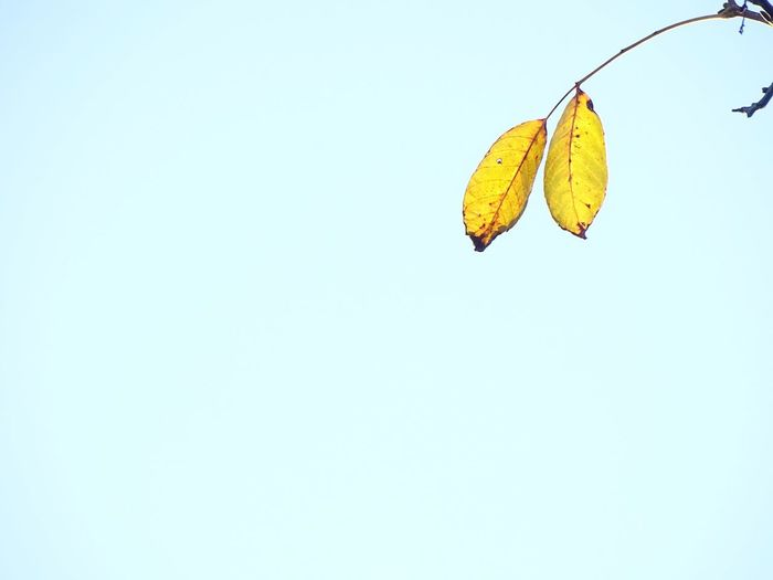 Low angle view of yellow tree against clear sky