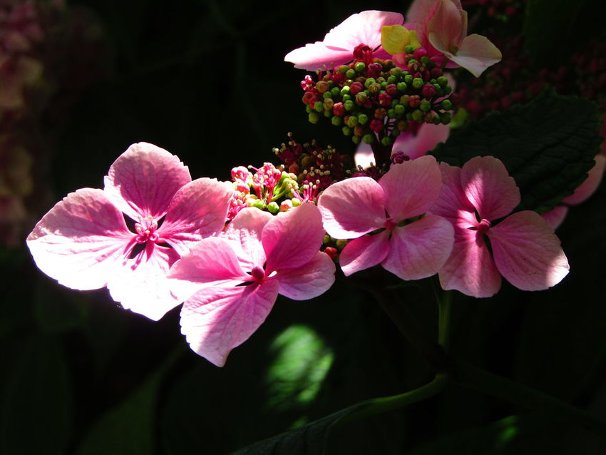 Hydrangea In Bloom Nature On Your Doorstep Nature Pink Flower Light And Dark Spaces Evening Light Show Case July