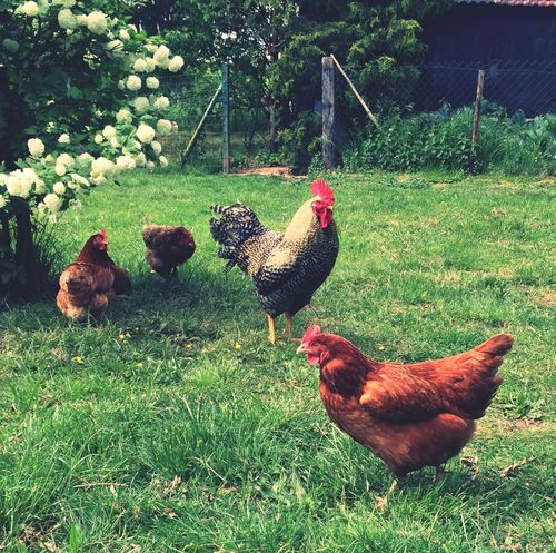 Chickens Chicken - Bird Chickens >.< Hühner Huhn Hen Hens Poules Poule Animals🐾 Tiere♡ Tiere Iphonegraphy Hobbyphotography Hobbyfotograf