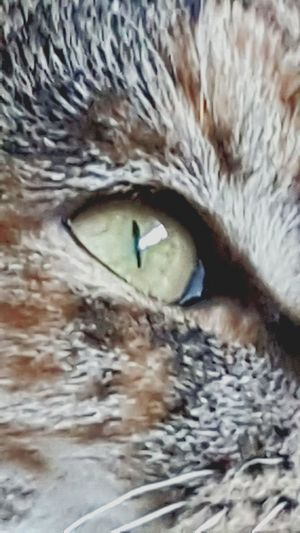 One Animal Close-up Animal Themes Watching Eyeball Cats Eyes Feline Felicia My Cat Mammal No People Pets Indoors