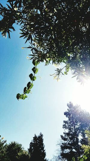 Urban Nature Nature Nature Photography Nature_collection Leaves Tree Oleander Sun Flare