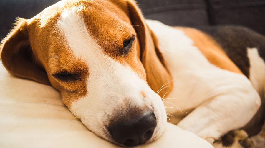 Close-up of beagle dog resting