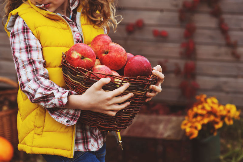 kid girl picking apples in basket, autumn harvest on farm, seasonal garden work Apple Autumn Farm Rural Adult Basket Child Country Life Fall Food Food And Drink Fruit Garden Girl Harvest Healthy Eating Holding Kid Leisure Activity Lifestyles Nature Outdoors Real People Season  Standing