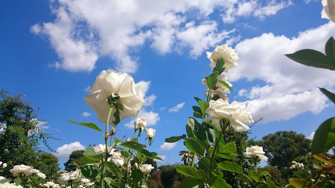 Flowers Roses White Color White