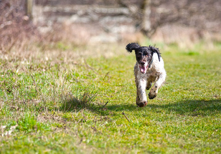 Dog Dog Running Dog Walk Gundogs Happy Dog Happy Dog Doing His Thing One Animal Outdoors Running Springer Spaniel Taking Photos
