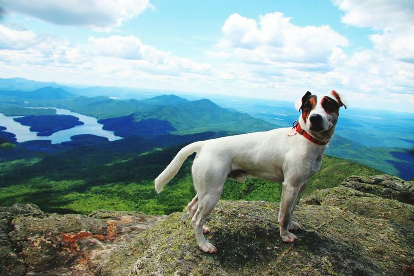Dog White Face Adirondack Mountains New York USA Summit Mountain Mountain Nationalpark Naturelovers Nature Nature_collection Jackrussell Jack Russell Jackrussellterrier Parson Russell Terrier Parsonrusellterrier Parson Parsonrussel Crazy Dog Dog Hiking White Face Mountain