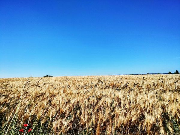 Wheat field... Agriculture Rural Scene Crop  Clear Sky Farm Blue Cereal Plant Field Nature Sky Growth Day Plant Landscape Outdoors No People Tranquil Scene Beauty In Nature Wheat Fulda Xiaomiclick Xiaomiphotograph Xiaomigermany Xiaomimi4c Xiaomiphotography