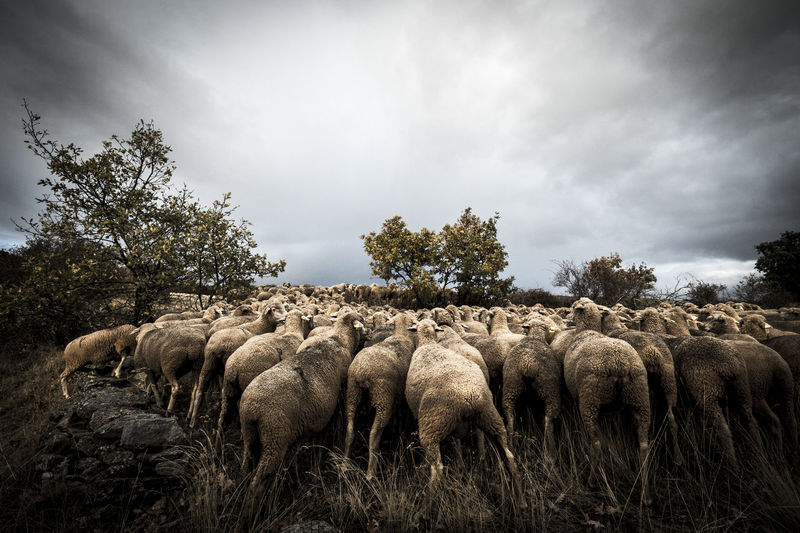 Countryside lifestyle in the province of Soria SPAIN Soria Animal Animal Themes Cloud - Sky Countryside Day Fields Flock Of Sheep Grass Landscape Large Group Of Animals Mammal Nature No People Outdoors Sheep Sheeps Sky Togetherness Tree #FREIHEITBERLIN