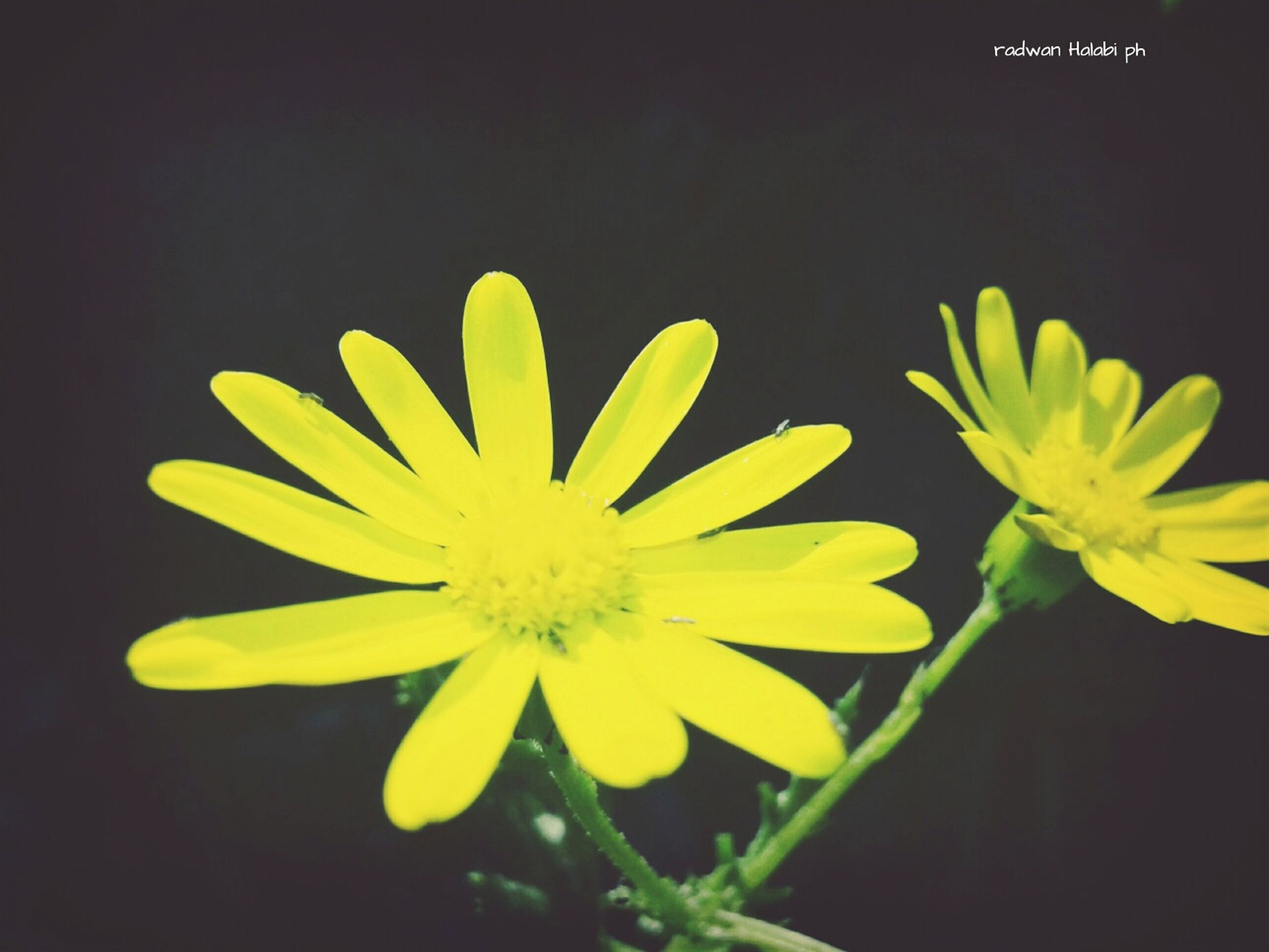 flower, petal, freshness, yellow, fragility, flower head, beauty in nature, growth, close-up, blooming, nature, plant, black background, single flower, pollen, studio shot, in bloom, focus on foreground, no people, blossom