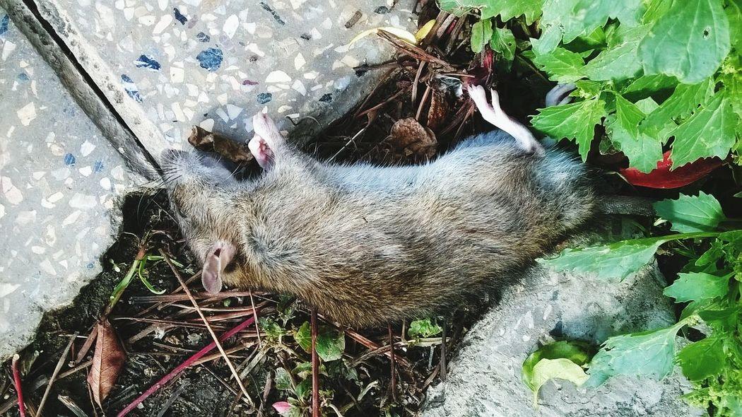 Rat Animals Dead Animals