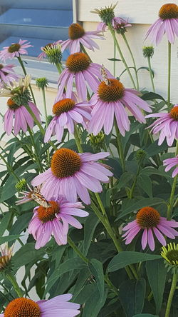 Flower Fragility Petal Purple Freshness Growth Beauty In Nature Plant Flower Head Nature Day Pollen No People Outdoors Close-up Eastern Purple Coneflower Blooming