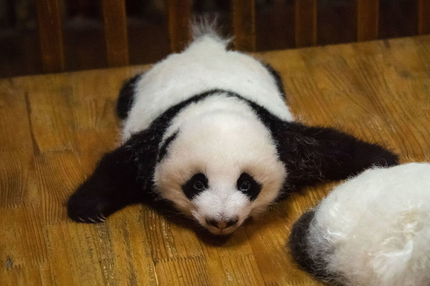 Mammal Animal Animal Themes Vertebrate Domestic Indoors  Relaxation Pets Domestic Animals No People High Angle View Panda Cub Puppy
