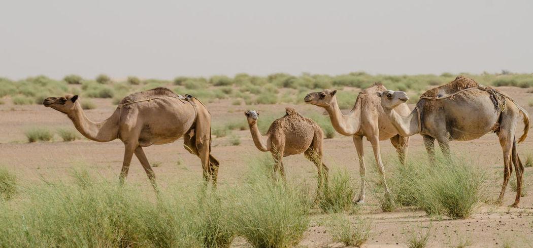 Nature Africa African Mauritania Animal Wildlife Camel Camels Dromedary