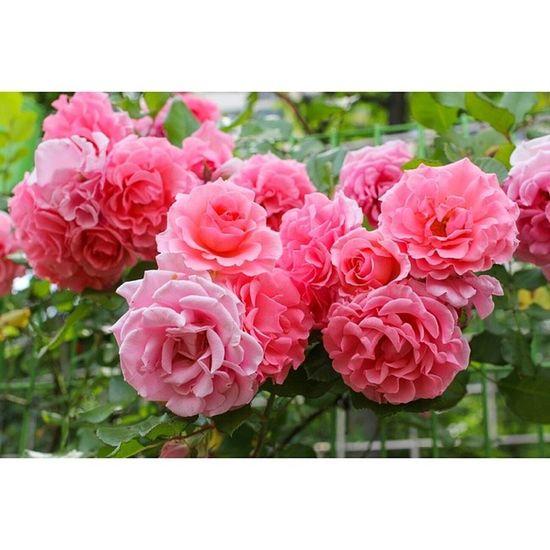 대구 이곡동 장미공원 장미 꽃 스냅 일상