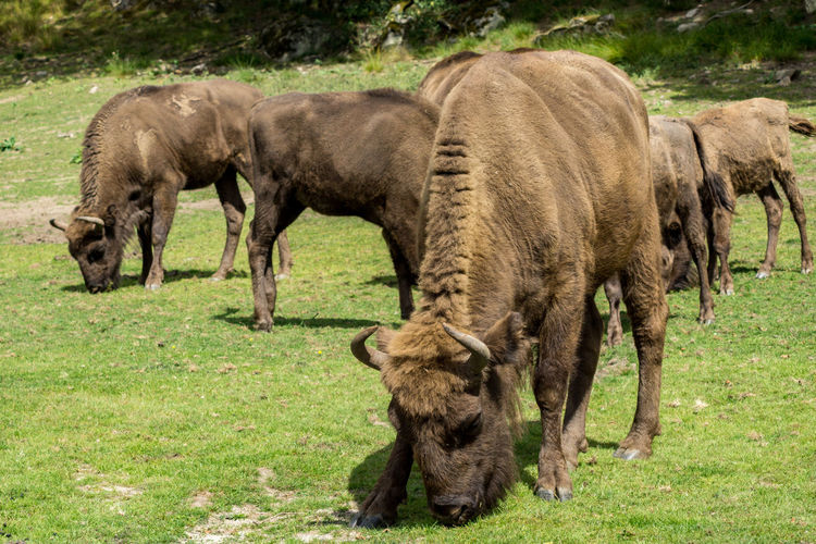 European bisons grazing on grassy field