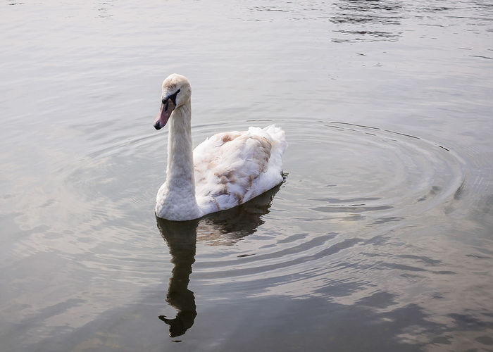 Animal Animal Neck Animal Themes Animal Wildlife Animals In The Wild Beauty In Nature Bird Cygnet Day Lake Nature No People One Animal Reflection Swan Swimming Vertebrate Water Water Bird Waterfront White Color