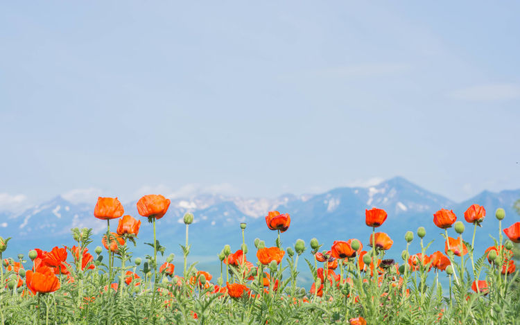 Beauty In Nature Bier Flower Flower Head Flowers Growth Hokkaido,Japan In Bloom Landscape Mountain Multi Colored Nature Orange Color Petal Plant Poppy Sky Spring Springtime 富良野