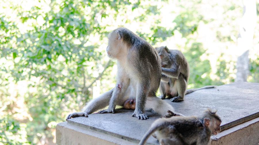 Monkeys in a farm