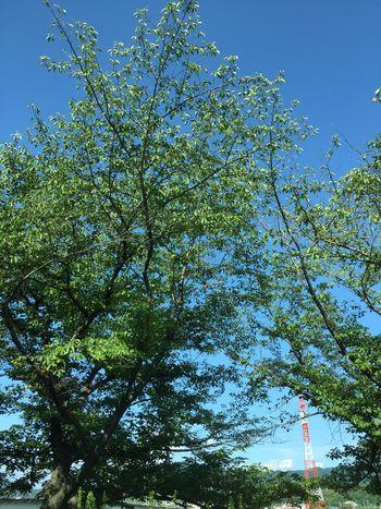 いつもの帰り道、暑かった… IPhoneography Osaka,Japan 桜の木 Sky Nature Japan
