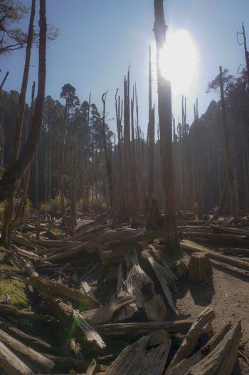 Destruction Destroyed Forest Dead Tree Dead Forest Trees Tree Trunks Lonely Loneliness Foggy Fog Scenery Tranquil Scene Sun Sunrise
