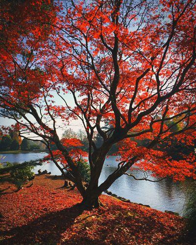 Nature Tree Autumn Fall Acer Leaves Landscape Rnifilms Lake Sheffield Park Gardens Brighton