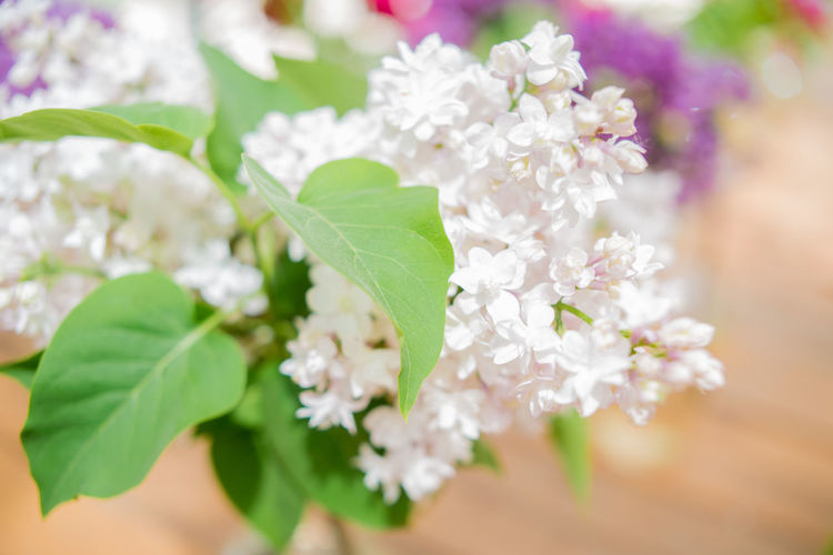 Beauty In Nature Blooming Bouquet Close-up Detailed Flower Flower Head Green Color Leaf Leaf Vein Nature Petal Springtime Syringa White Lilac