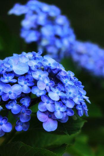 おたふく紫陽花 Flower Beauty In Nature Hydrangea EyeEm Best Shots