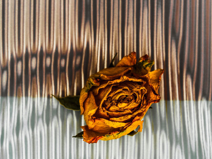 rose Close-up Day Directly Above Dry Flower Flower Head Flowering Plant Food And Drink Fragility Freshness Indoors  Leaf Leaves Nature No People Pattern Petal Plant Plant Part Shadow Single Object Vulnerability  Wilted Plant