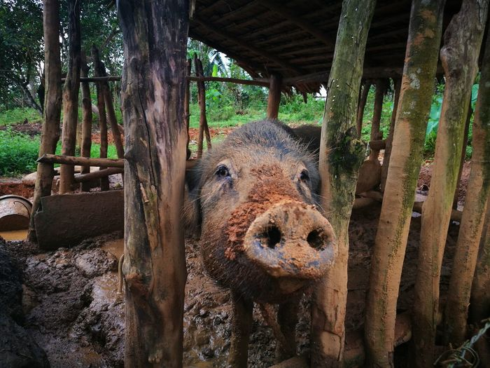 Muddy Pig Nature Bacon outdoors