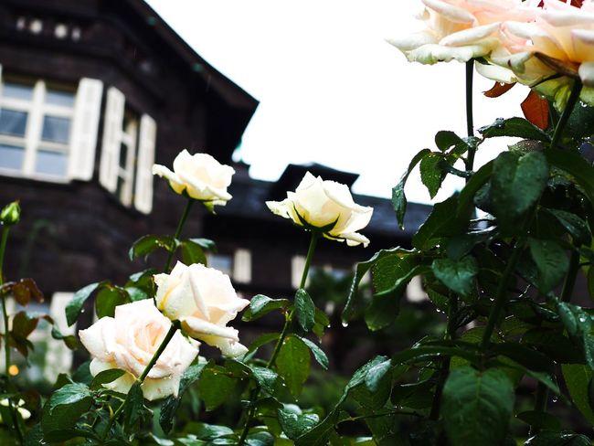 雨に濡れる薔薇(とカメラ女子たちと私。想像で補完して下さい)。 Rose - Flower Flower Petal Roses Fragility Freshness Flower Head White Color Plant Leaf Rainy Day Raindrops On Flowers Raindrops On Leaves No People Branch Autumn Low Angle View Olympus OM-D E-M5 Mk.II カメラ男子もいたけど無視。
