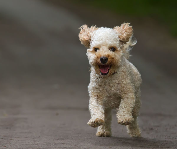 Portrait Of Dog Running On Footpath