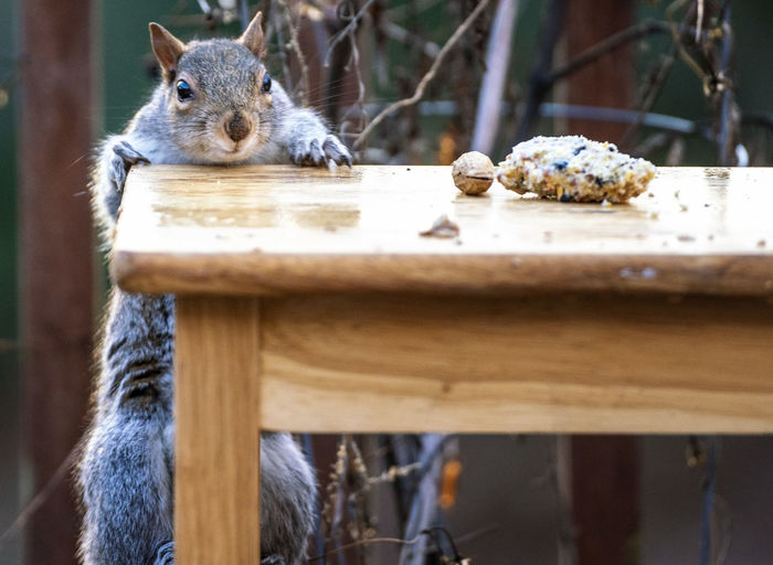 Squirrel on wooden table