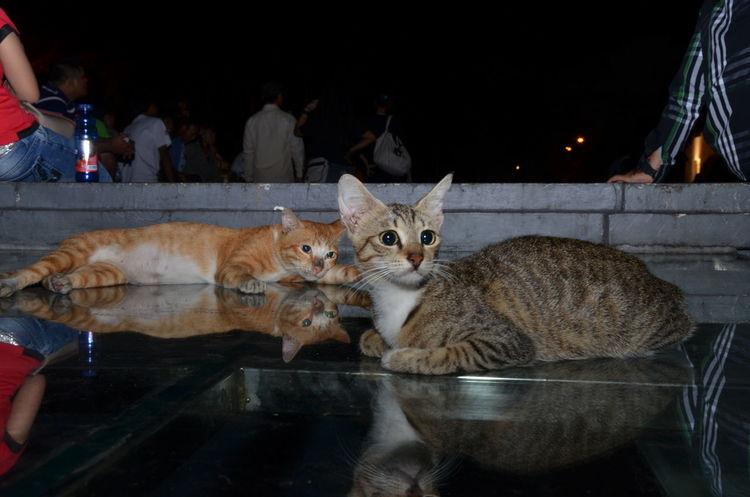 Cats Cats Of EyeEm Animals Beauty Animal Beautyful Cats Cat Cats Domestic Animals Domestic Cat Love Cats Pets Pets Lover The Photojournalist - 2018 EyeEm Awards