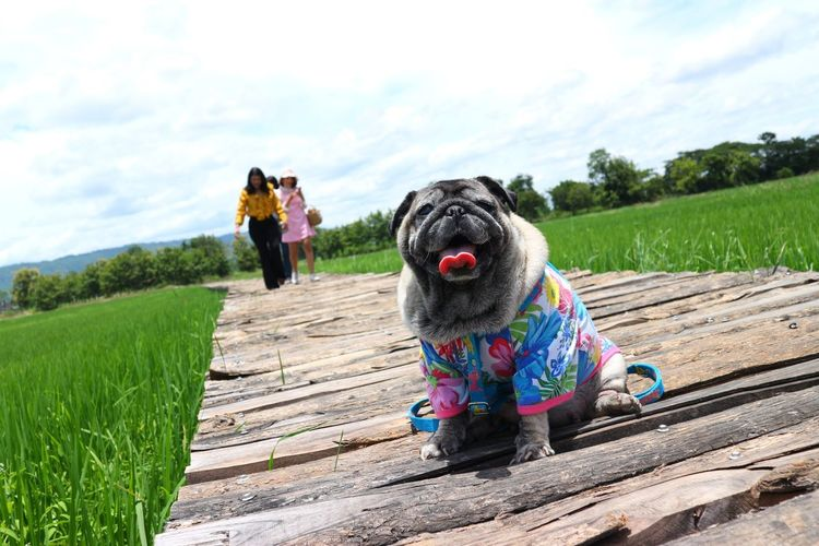 Portrait of pug against friends walking on boardwalk amidst farm